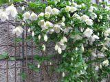 冬咲きクレマ