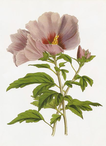 Hibiscus syriacus chinensis RHS