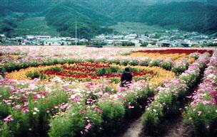 田舎のコスモス畑